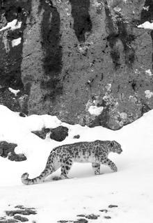 Leopardo de las nieves «cazado» por Vincent Munier